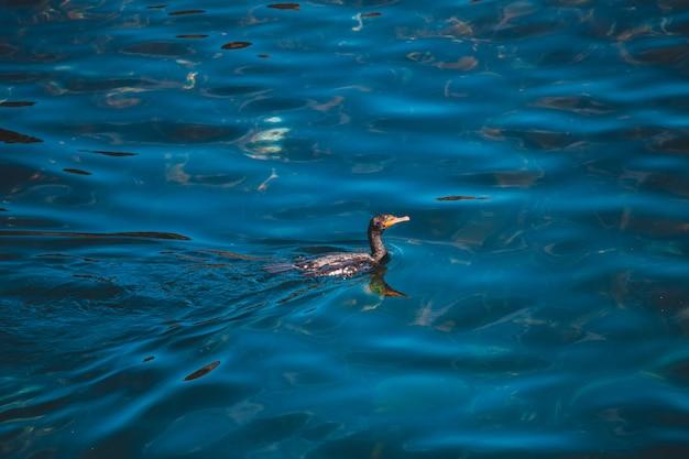 Pato preto nadando na água