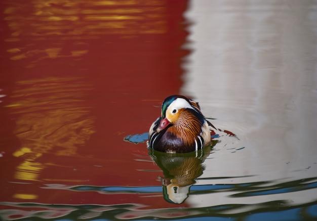 Pato-real com penas coloridas nadando no lago com o reflexo dos arredores