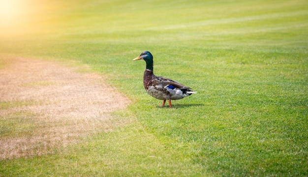 Pato-real macho andando na grama verde fresca em dia de sol