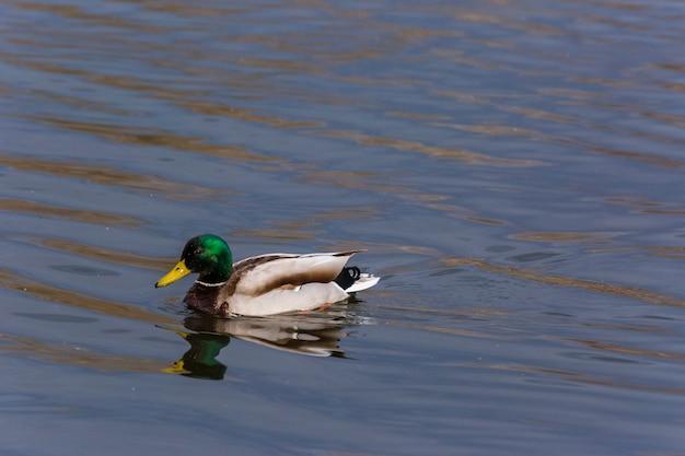 Pato-real na primavera na reserva natural de aiguamolls de l'emporda, espanha.