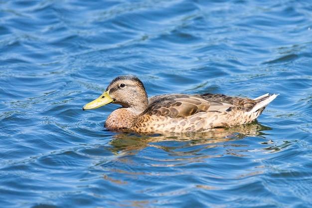 Pato-real nadando em uma imagem de lagoa com reflexo na água