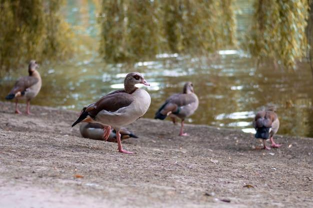 Pato-real no parque de bruxelas, bélgica