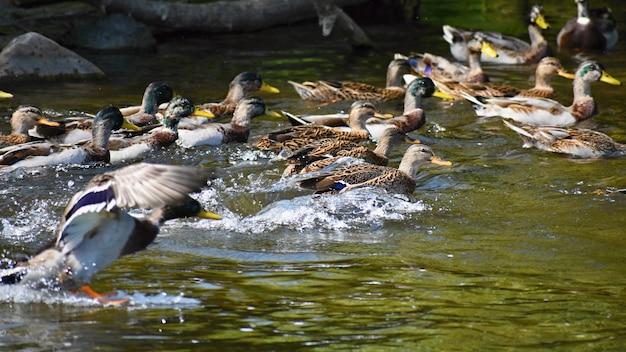 Pato-real. pato selvagem na margem de uma lagoa