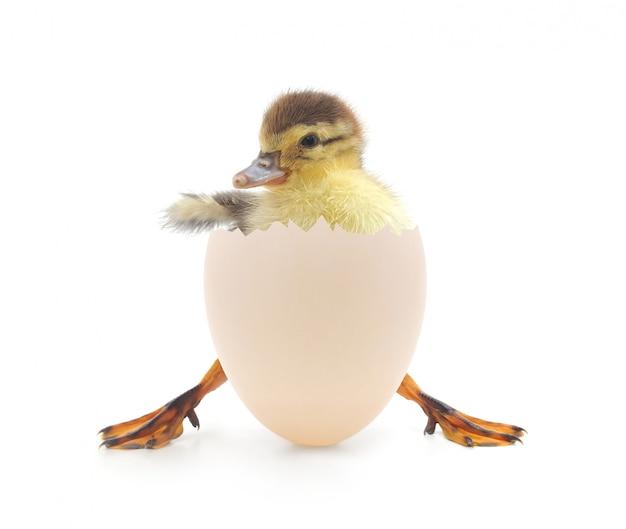 Pato saindo de sua casca de ovo