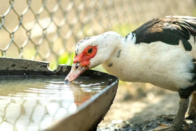 Pato se alimenta de curral rural tradicional. detalhe de uma água potável de aves aquáticas no quintal do celeiro. conceito de avicultura ao ar livre.