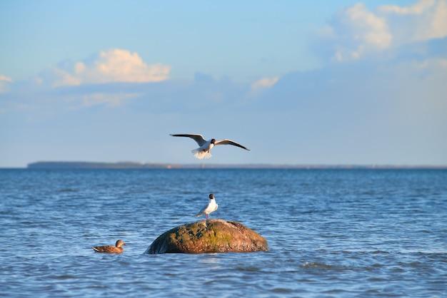Pato selvagem e gaivotas ao redor da pedra no mar báltico