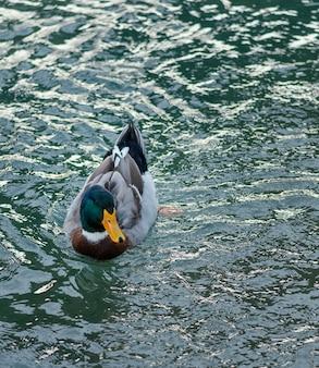 Pato selvagem flutuando na água