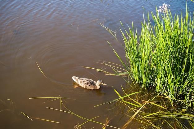 Pato selvagem na água marrom ao lado da grama verde.