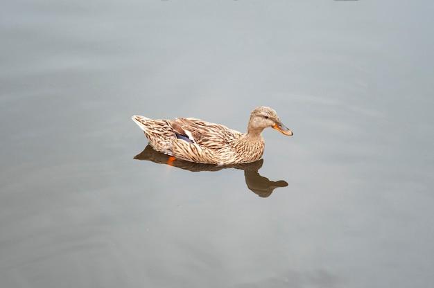 Pato selvagem na água
