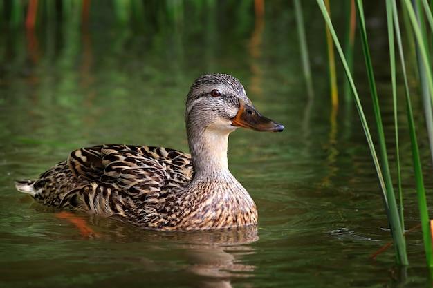 Pato selvagem na superfície da água do lago. mallard.