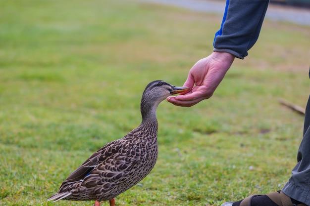 Pato selvagem sendo alimentado manualmente na grama