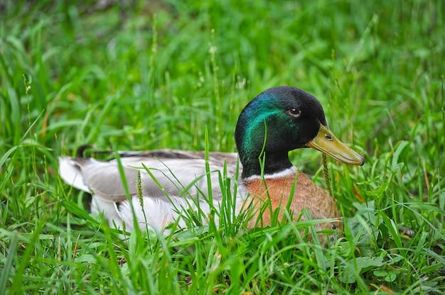 Pato sentado na grama