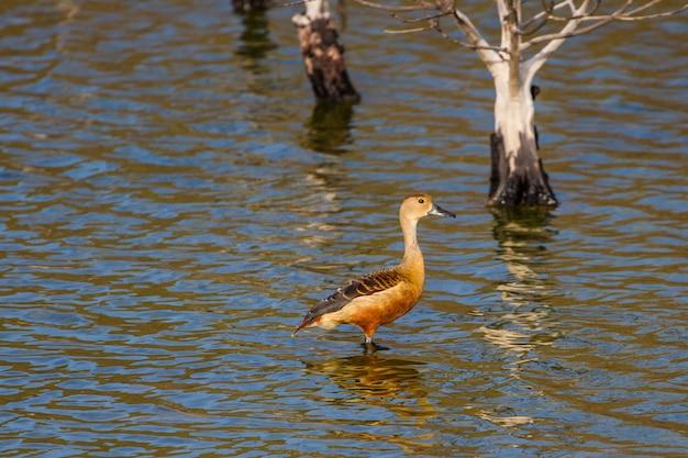 Pato vermelho bonito, lesser whistling-duck (dendrocygna javanica) na tailândia