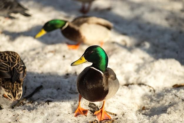 Patos caminhando na neve da primavera