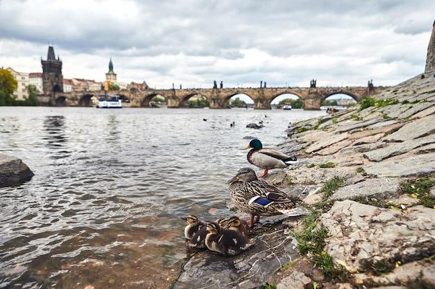 Patos em praga no rio vltava próximo à ponte carlos, república tcheca
