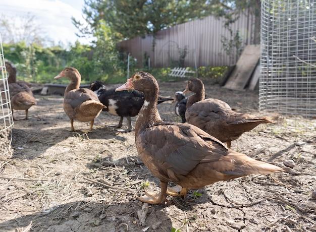 Patos em um cercado em uma fazenda