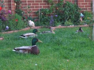 Patos em um jardim