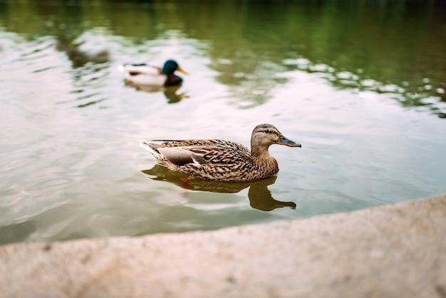 Patos em uma lagoa.