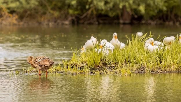 Patos em uma lagoa Foto gratuita