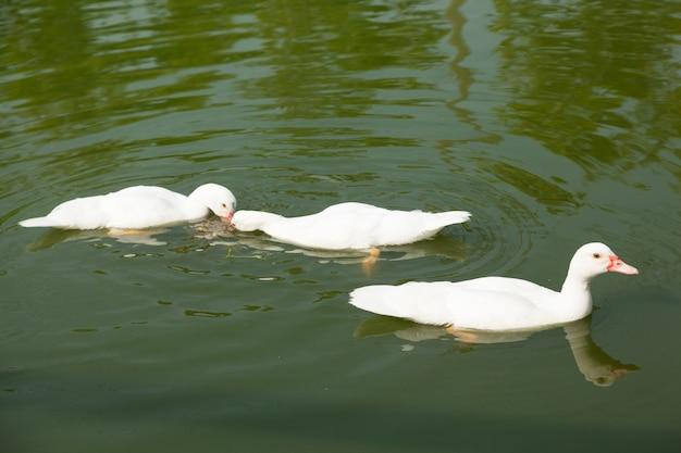 Patos estão nadando