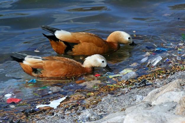 Patos famintos em busca de comida entre o lixo na lagoa. poluição de resíduos humanos na natureza.