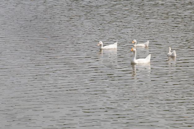 Patos flutuando no rio.