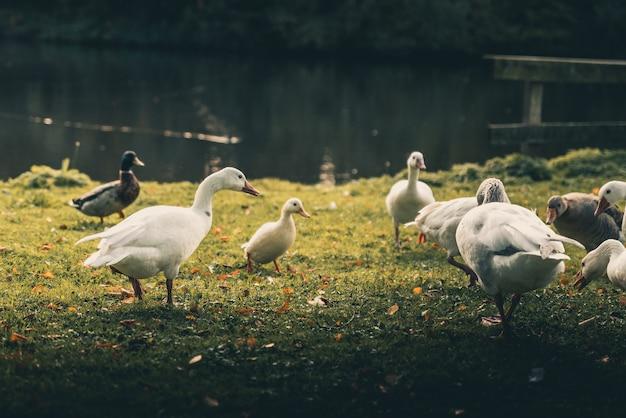 Patos incríveis ao redor de um lago