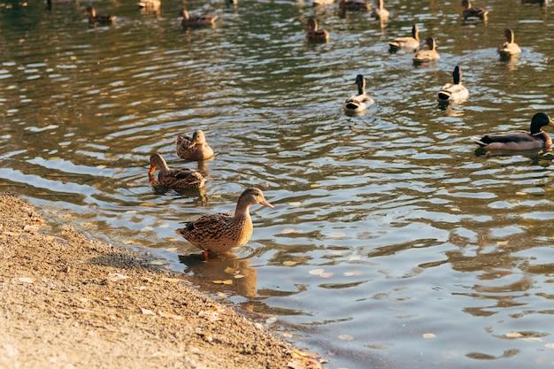 Patos na água do lago