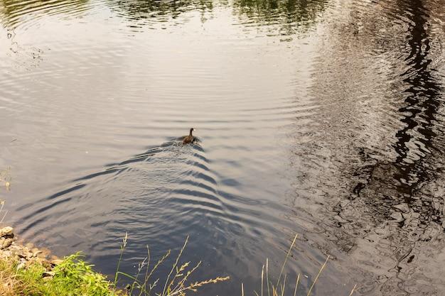 Patos na lagoa do parque. patos selvagens são refletidos no lago. penas coloridas de pássaros. um lago com patos e marrecos. pato se alimenta na superfície da água. patos comem comida na água