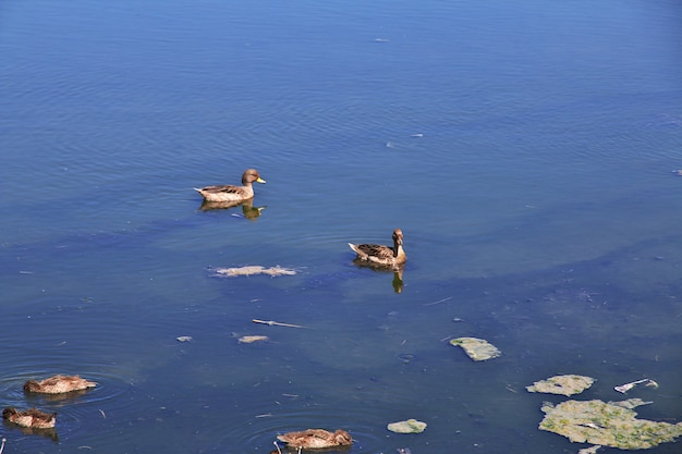 Patos na laguna nimez reserva em el calafate, patagônia, argentina