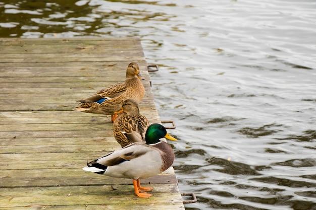 Patos nadando no lago, lago trakai