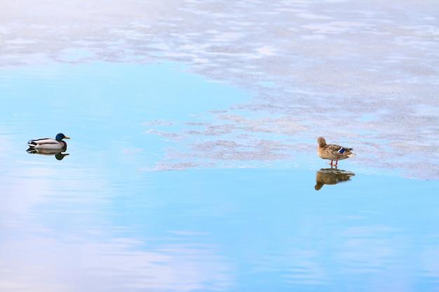 Patos no gelo