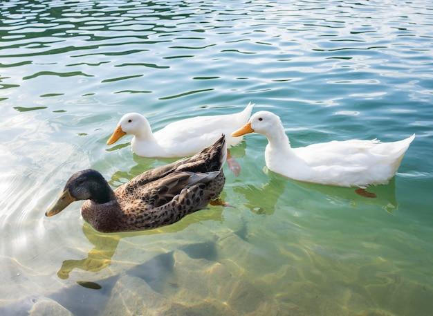 Patos no lago
