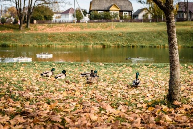 Patos perto da lagoa no parque outono.