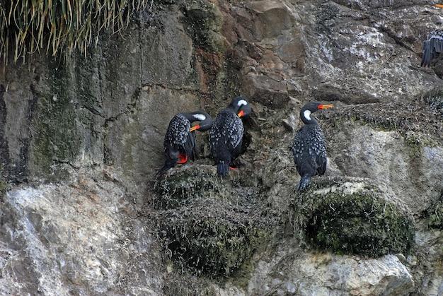 Patos pretos sentados nas pedras rochosas