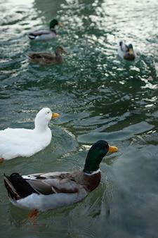 Patos selvagens flutuando na água