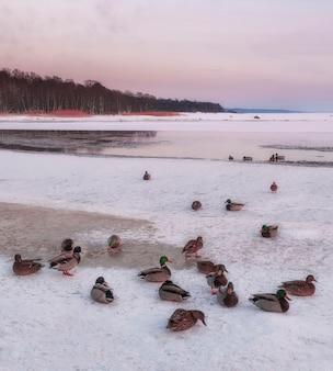 Patos selvagens invertem no gelo do golfo da finlândia, no mar báltico