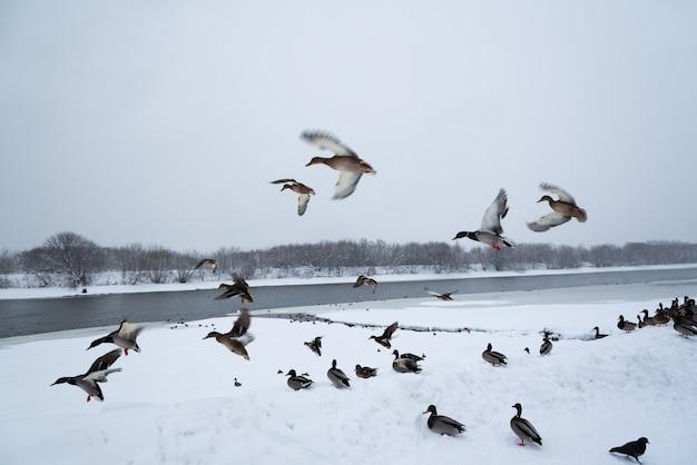 Patos selvagens na neve no parque da cidade. winter.moscow.russia.