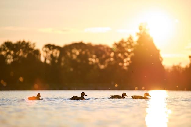 Patos selvagens nadando na água do lago ao pôr do sol brilhante. conceito de observação de pássaros.