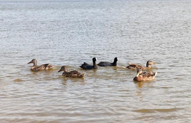 Patos selvagens no ambiente natural, pequenos patos selvagens no território dos lagos, primavera com pássaros selvagens patos