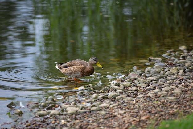 Patos selvagens no parque na superfície da água e no gramado