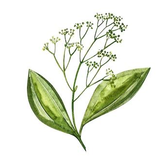 Paus de canela isolados. ilustração em aquarela. cozinha ervas e especiarias.