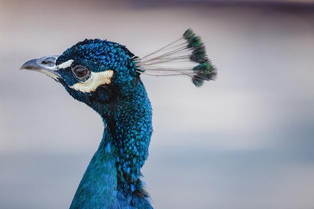 Pavão azul em close-up