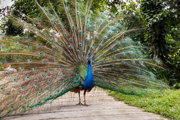 Pavão azul indiano