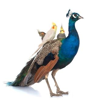 Pavão azul masculino e calopsitte