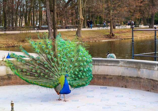 Pavão bonito e colorido no parque de banhos reais, varsóvia, polónia