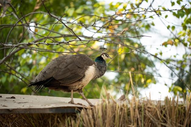 Pavão bonito. pavão mostrando sua cauda, pavão com asas abertas no perfil.