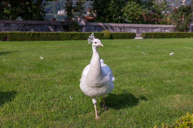 Pavão branco bonito e incomum