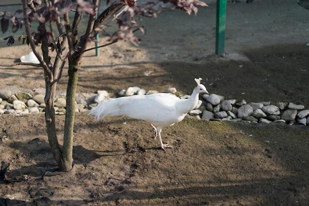 Pavão branco caminha no chão