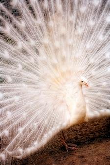 Pavão branco, close-up